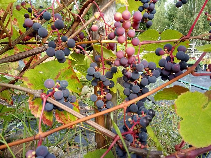 Monivuotiset hyötykasvit