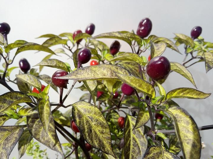 Vihannesten taimet